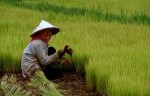 Flood-tolerant rice reduces yield variability, benefiting poor farmers the most